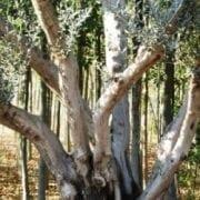 עצי זית - עצי נוי | הדר נוי משתלות
