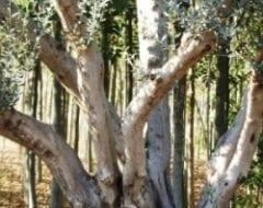 עצי זית - עצי נוי   הדר נוי משתלות