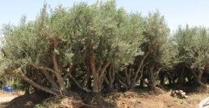 עצים בוגרים- העתקה ואקלום - עצי נוי | הדר נוי משתלות
