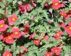 צמחים מיוחדים - עצי נוי | הדר נוי משתלות
