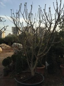 הגינה בחודשי ינואר פברואר - עצי נוי   הדר נוי משתלות