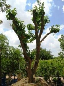 עצים בוגרים- העתקה ואקלום - עצי נוי   הדר נוי משתלות