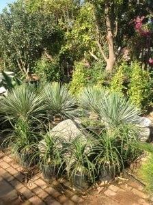 הגינה בחודשי מאי יוני - עצי נוי | הדר נוי משתלות