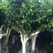 עץ לימון איטלקי