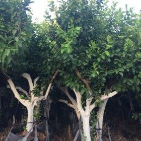 עצי לימון איטלקי