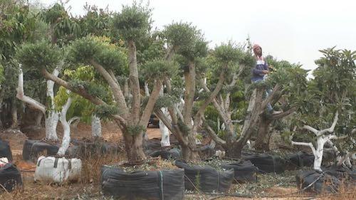 עיצוב עצי זית במשתלה