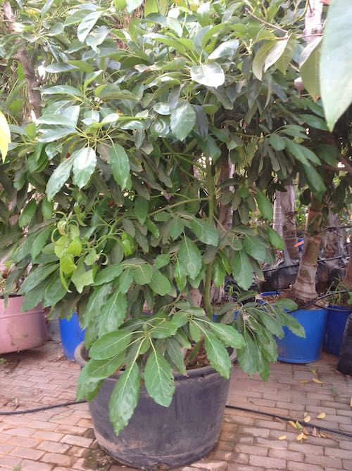 עץ אבוקדו חצי בוגר