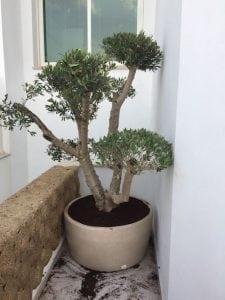 עץ זית מעוצב שתול בתוך כד