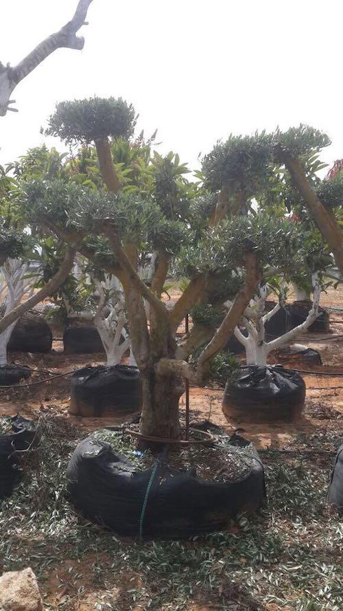 עץ זית מעוצב
