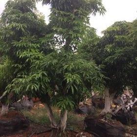 עץ ליצ׳י ענק