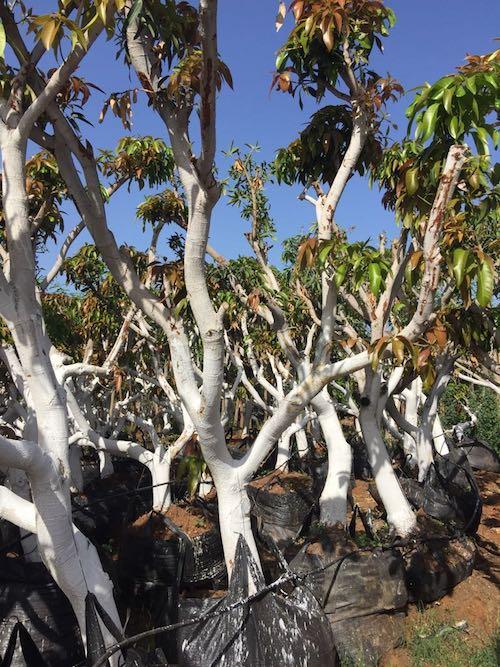 עצים בוגרים לאחר עקירה