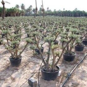 עצי זית בונסאי שתולים בתוך מיכל מכונים לגינת גג פאטיו וכו