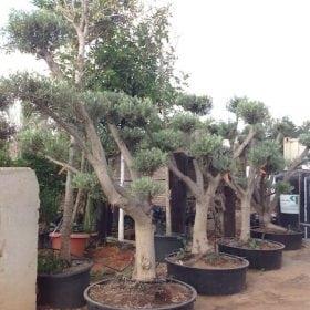 עצי זית מעוצבים בתוך מיכל