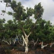 עצי ליצ׳י ענקיים