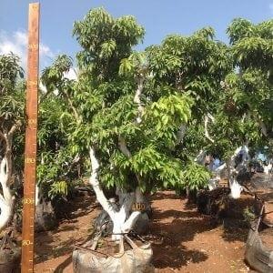 עץ ליצ׳י מס׳ 100