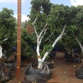עץ ליצ׳י מס׳ 104