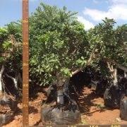 פומלה לבנה עץ מס׳ 220