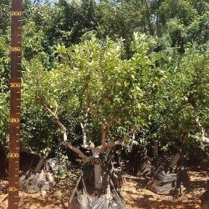 לימון ליים עץ מס׳ 250