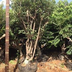אנונה עץ מס׳ 10