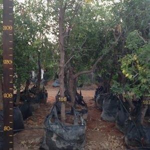 שזף סיני סדרה 4 עץ 186