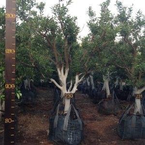 תפוז סיני סידרה 4 עץ 230