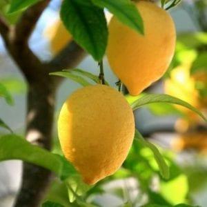 עצי פרי חצי בוגרים