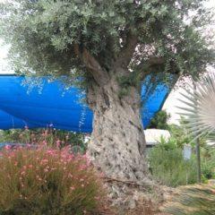 עצי זית – כל מה שצריך לדעת!